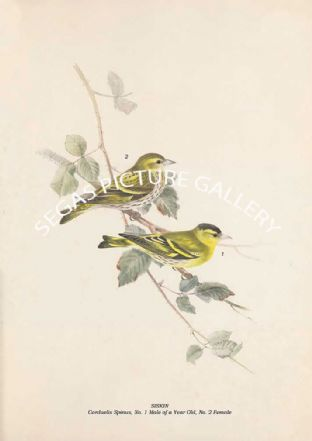 SISKIN - Carduelis Spinus, No. 1 Male of a Year Old, No. 2 Female